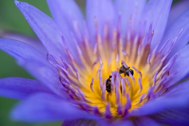 Sluit omhoog geel stuifmeel van violette lotusbloem of waterlelie met bijen.