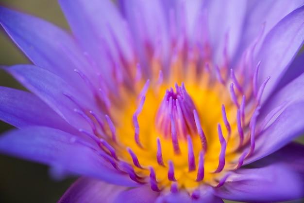 Sluit omhoog geel stuifmeel van violette lotusbloem of waterlelie.
