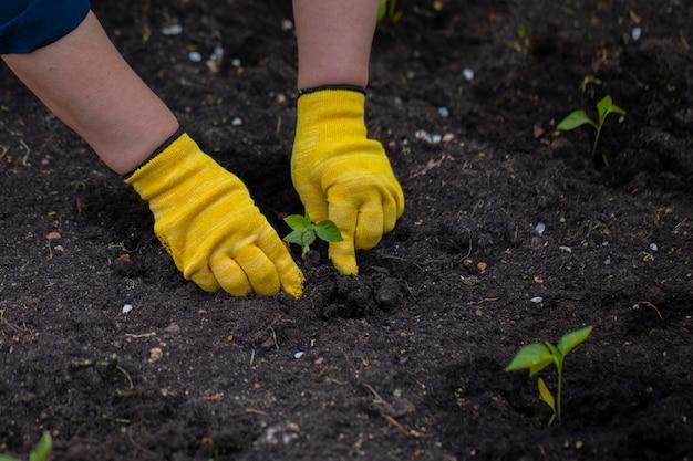 Sluit omhoog gehandschoende handen van de tuinman plantend jonge kleine installatie, werkend in tuin
