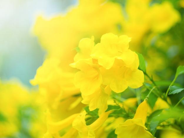 Sluit omhoog gele bloembloesem in de tuin met zonlicht in ochtend.