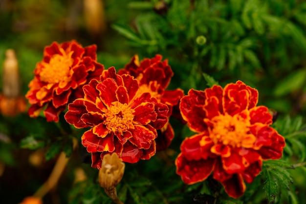Sluit omhoog gele goudsbloem in huistuin met aard levendige kleuren. franse goudsbloemen bloem