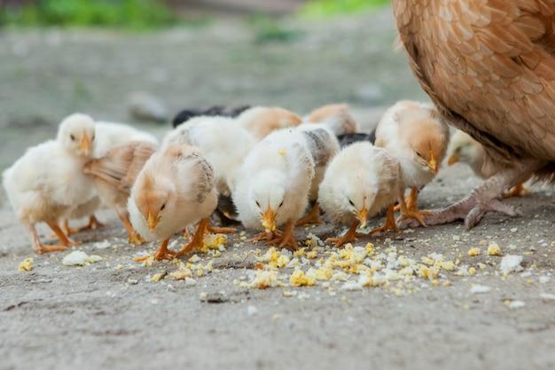 Sluit omhoog gele kuikens op de vloer, mooie gele kleine kippen, groep gele kuikens