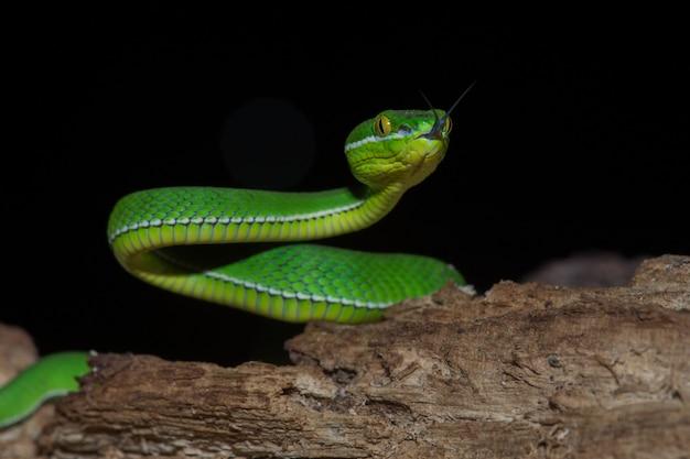 Sluit omhoog gele lipped groene pit viper-slang