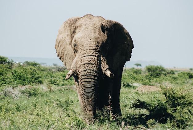 Sluit omhoog geschoten van een olifant die zich op het gebied bevindt
