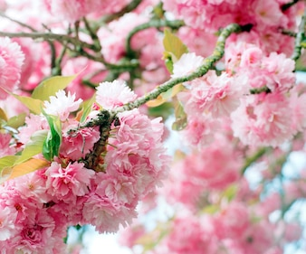 Sluit omhoog gevoelige roze de lentebloesems op bloeiende boom