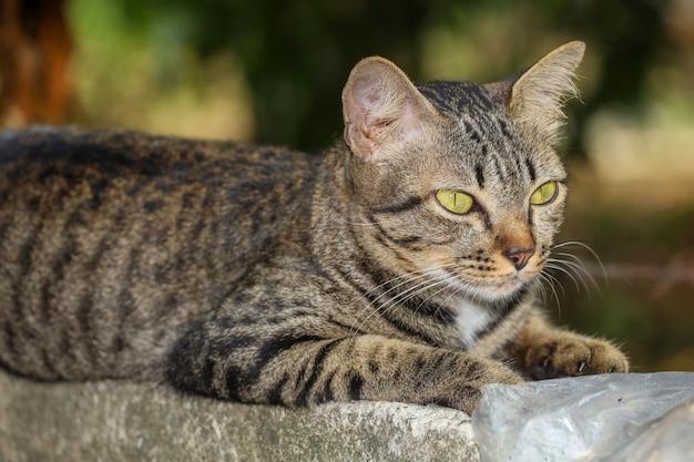 Sluit omhoog grijs kattenhuis is gaan zitten en rusten op de oude muur dichtbij de tuin in thailand