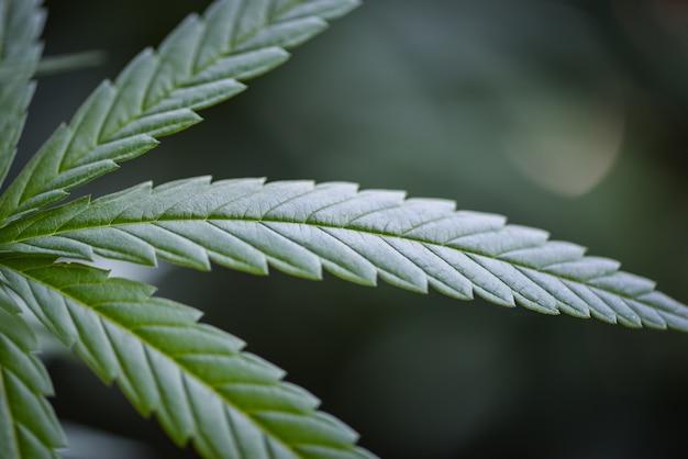 Sluit omhoog groen hennepblad