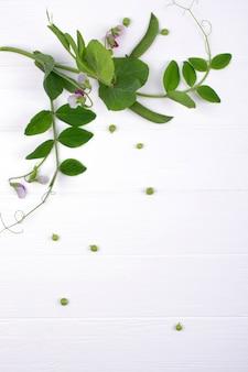 Sluit omhoog groene erwtenstam met purpere bloem en blad op de witte achtergrond. kopieer ruimte