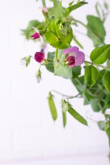 Sluit omhoog groene erwtenstam met purpere bloem en blad op de witte achtergrond. selectieve aandacht. kopieer ruimte