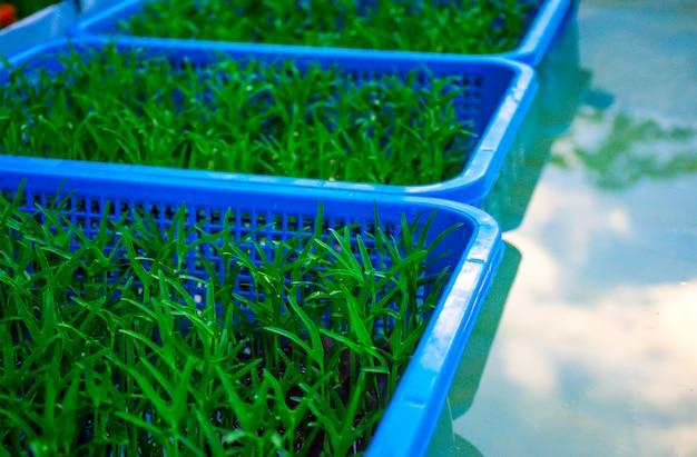 Sluit omhoog groene groente groeit in dienblad, mand van groene kleine boom met blauwe hemelwolken in regenende dag