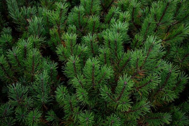 Sluit omhoog groene pijnboombladeren in usu piekshashan berg hokkaido japan
