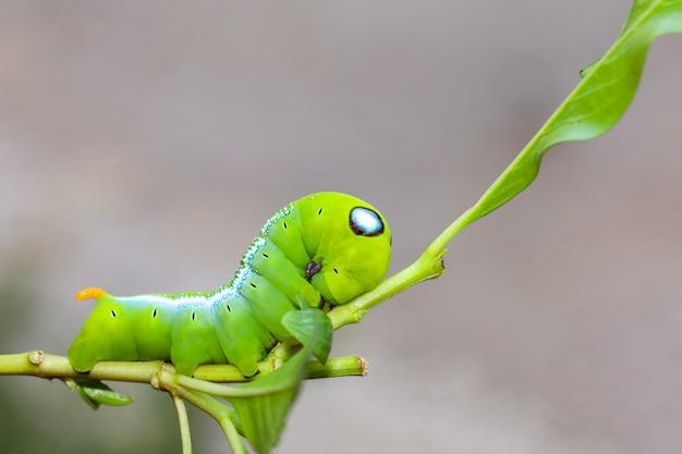 Sluit omhoog groene worm of daphnis-neriworm op de stokboom in aard en milieu