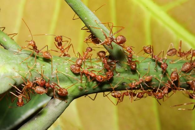 Sluit omhoog groeps rode mier op groene laef in aard