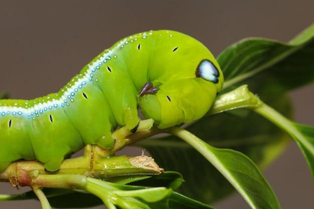 Sluit omhoog hoofd groene worm of daphnis-neriworm op de stokboom in aard en milieu