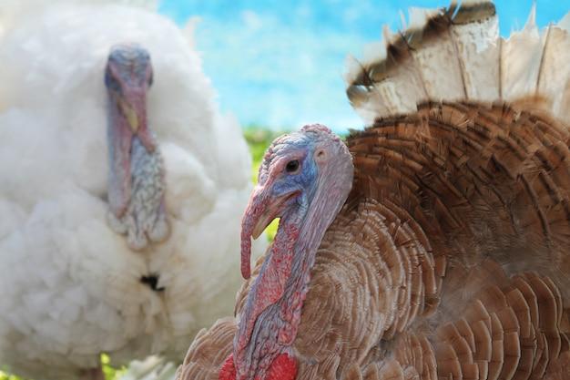 Sluit omhoog hoofd groot turkije in tuin
