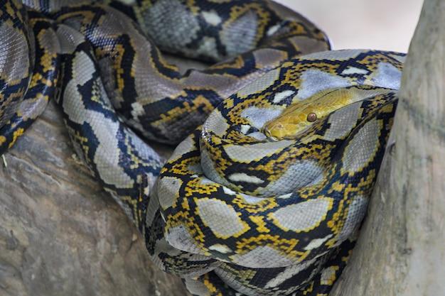Sluit omhoog hoofd grote birmaanse pythonslang in lichaam op stokboom in thailand