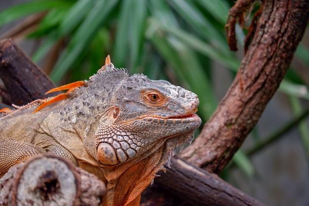 Sluit omhoog hoofd van leguaan reptiel dierlijke achtergrond