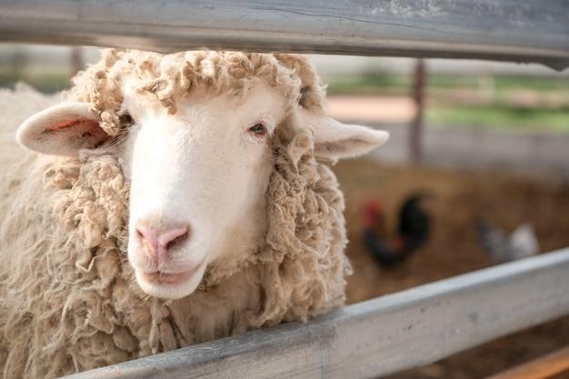 Sluit omhoog hoofd van schapen in landbouwbedrijf
