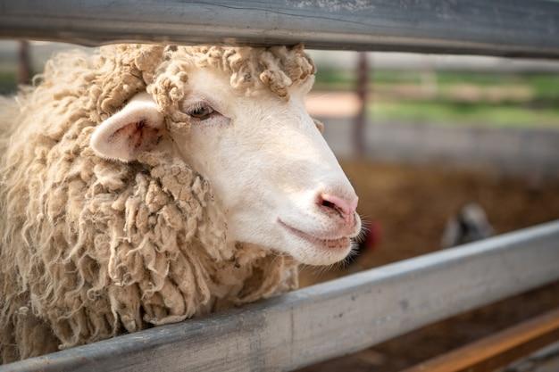 Sluit omhoog hoofd van schapen