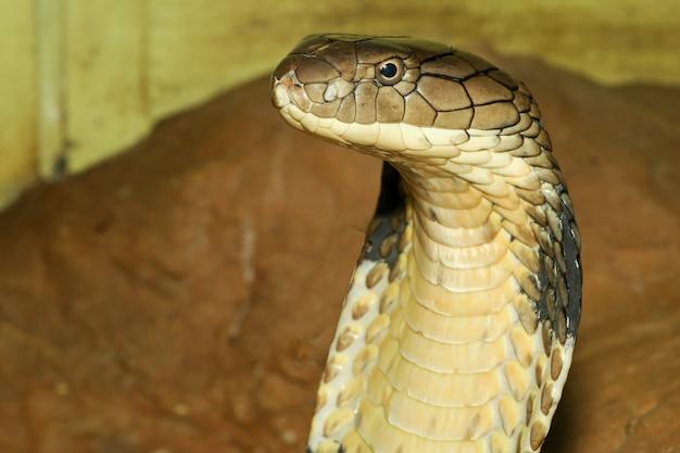 Sluit omhoog hoofdkoningscobra is gevaarlijke slang bij tuin thailand