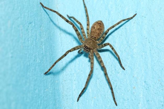 Sluit omhoog hoofdwolfspin is insectendier op de vloer van het blauwe kleurencement