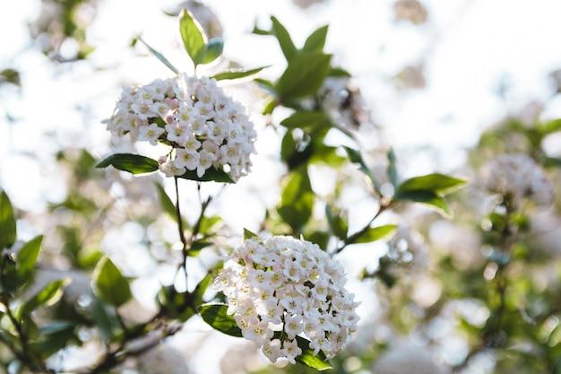 Sluit omhoog kersenbloemen in het midden van de lente