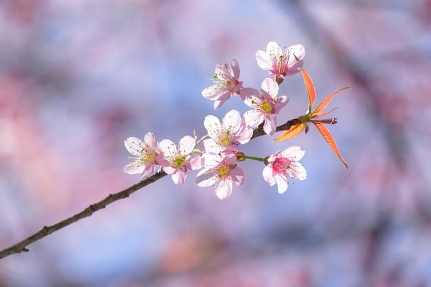 Sluit omhoog kersenbloesem met zachte achtergrond