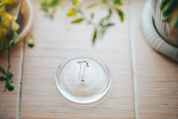 Sluit omhoog kleine groene spruitzaailingen van tomaat op venster