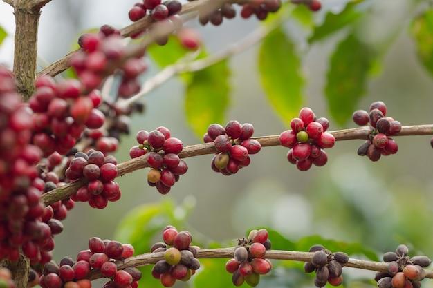 Sluit omhoog koffieboom met rijpe - rode koffiebonen op bomen