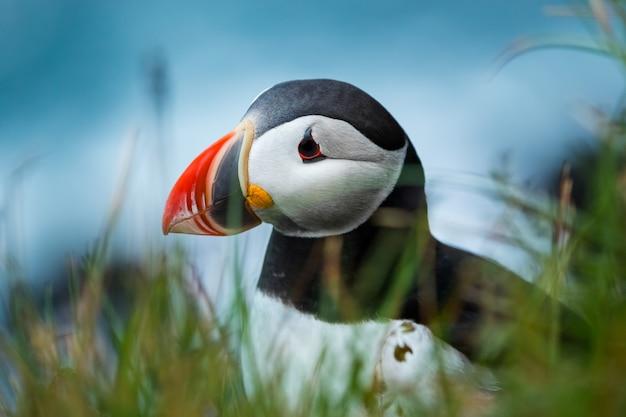 Sluit omhoog leuk van papegaaiduiker bij eiland in ijsland