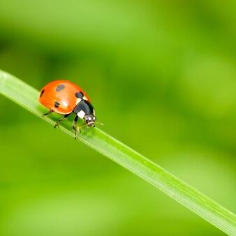 Sluit omhoog lieveheersbeestje op groen sprietje gras