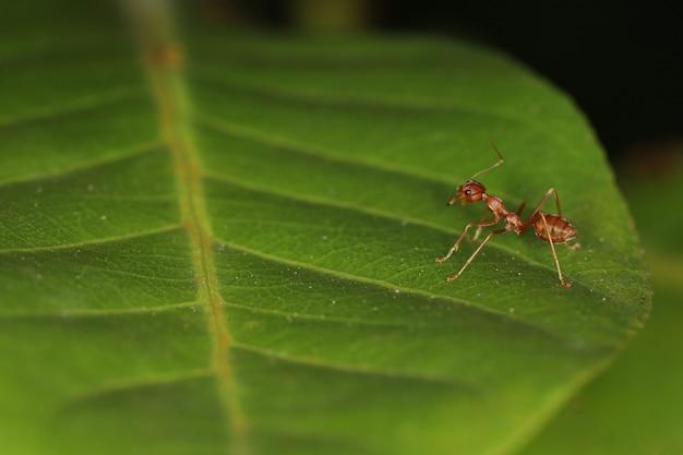 Sluit omhoog macro rode mier op groen blad op aard in thailand