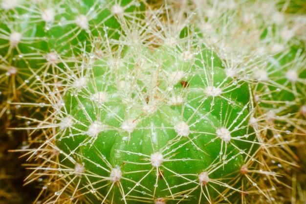 Sluit omhoog macro van een cactus met ochtenddauw op het