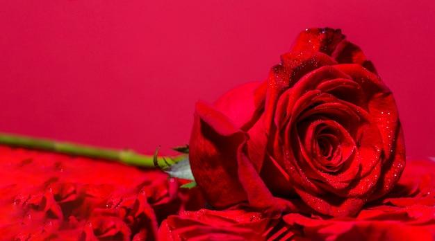 Sluit omhoog macroschot. rood roze bloem. rozen in bloemenwinkel. heldere rode roos voor valentijnsdag.