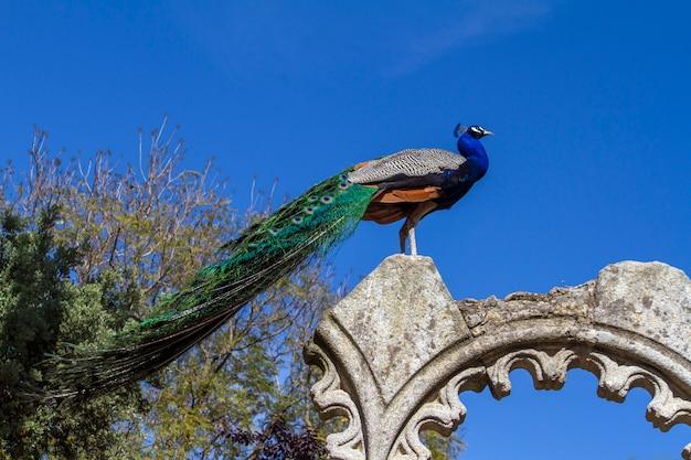 Sluit omhoog mening van de pauwvogel bovenop sommige ruïnes.