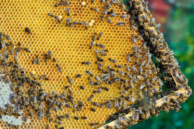 Sluit omhoog mening van de werkende bijen op de honingraat met zoete honing. honing is een gezonde bijenteelt.