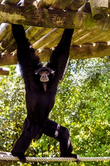 Sluit omhoog mening van een gibbon aap van siamang (symphalangus-syndactylus).