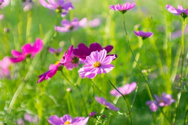 Sluit omhoog mooi achter de roze bloem van de zwavelkosmos