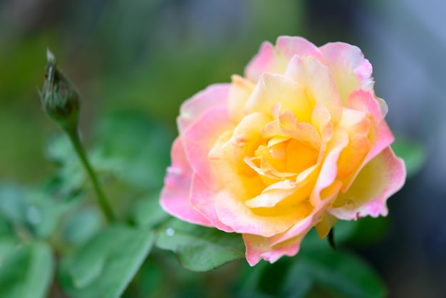 Sluit omhoog mooie gele roze rozenbloem in tuin openlucht vage achtergrond