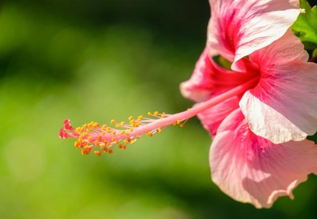 Sluit omhoog mooie hebiscus-bloem met stuifmeel op groen vage achtergrond