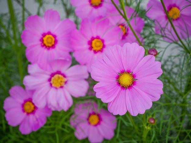 Sluit omhoog mooie kosmosbloemen in het bloeien