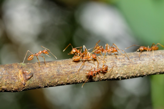 Sluit omhoog nadruk één rode mier op stokboom in aard in thailand