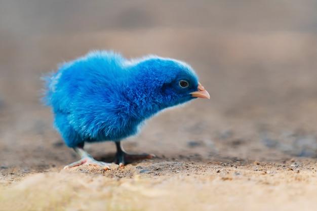 Sluit omhoog nieuw - geboren kippenblauw op aardachtergrond