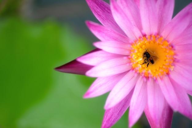 Sluit omhoog of macrobij op een purpere lotusbloem