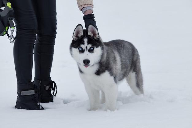 Sluit omhoog op blauwe ogen van een mooie schor hond. siberische husky hond buitenshuis. portret van siberische husky in de natuur in de winter.