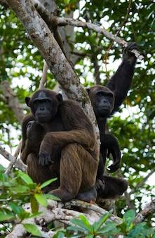 Sluit omhoog op chimpansee op mangrovetakken