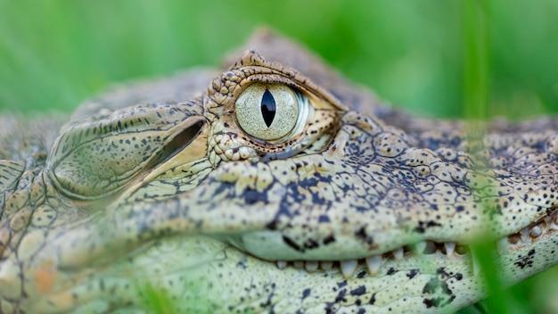 Sluit omhoog op de gele gewasalligator (caiman latirostris)