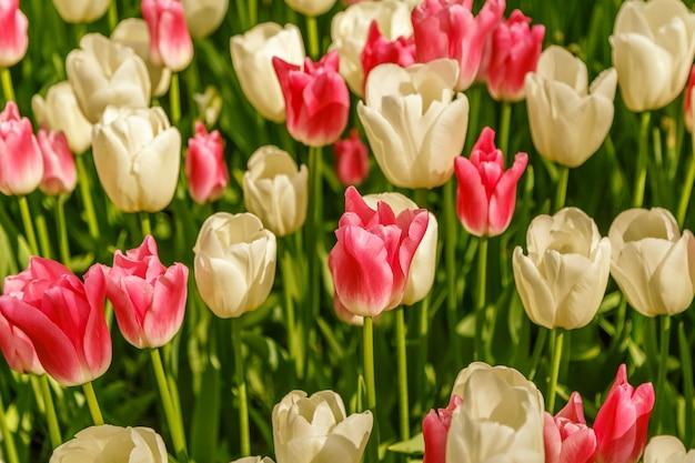 Sluit omhoog op de mooie achtergrond van tulpenbloemen