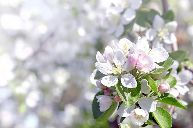Sluit omhoog op de witte details van de appelboombloemen