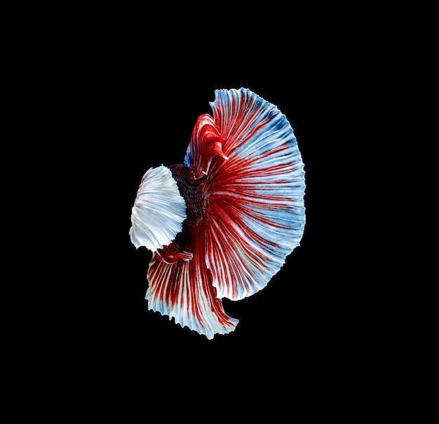 Sluit omhoog op geïsoleerde betta-vissen